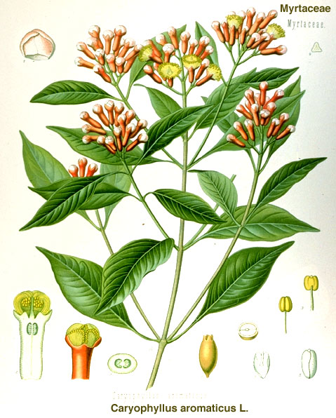 clove-caryophyllus_aromaticus.jpg