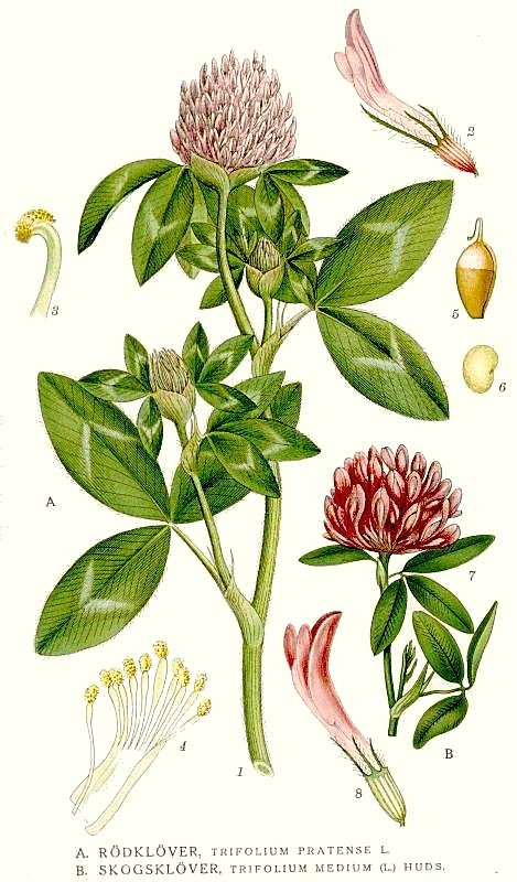 clover-trifolium_pratense.jpg