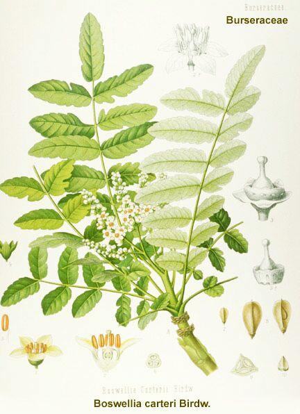 frankincense-boswellia_carterii.jpg