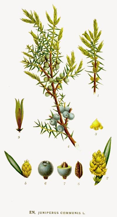 juniper-juniperus_communis.jpg