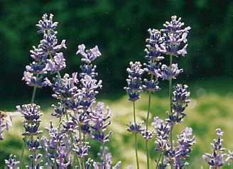 lavendar-lavendula_vera.jpg
