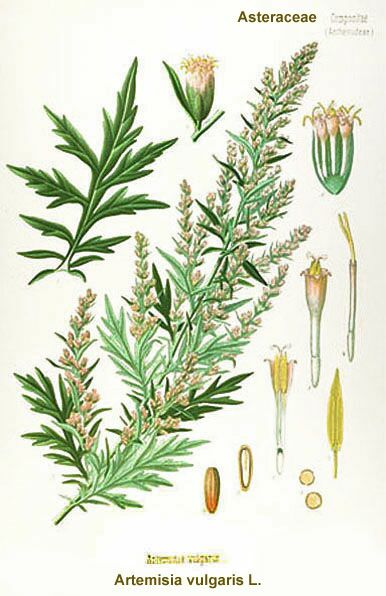 mugwort-artemisia_vulgaris.jpg