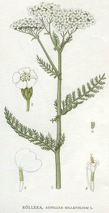 yarrow-achillea_millefolium.jpg