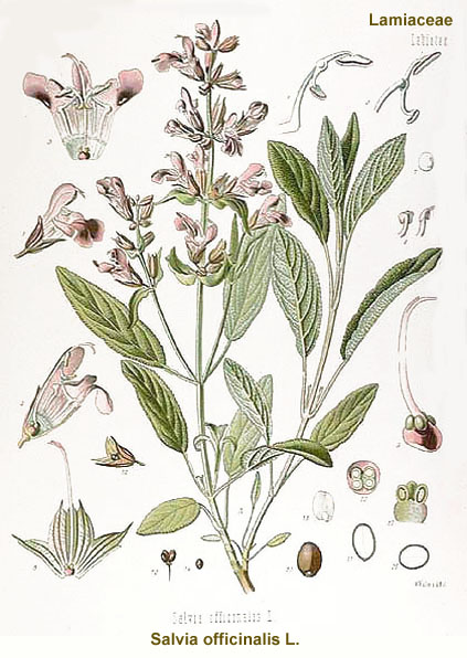 sage-salvia_officinalis.jpg