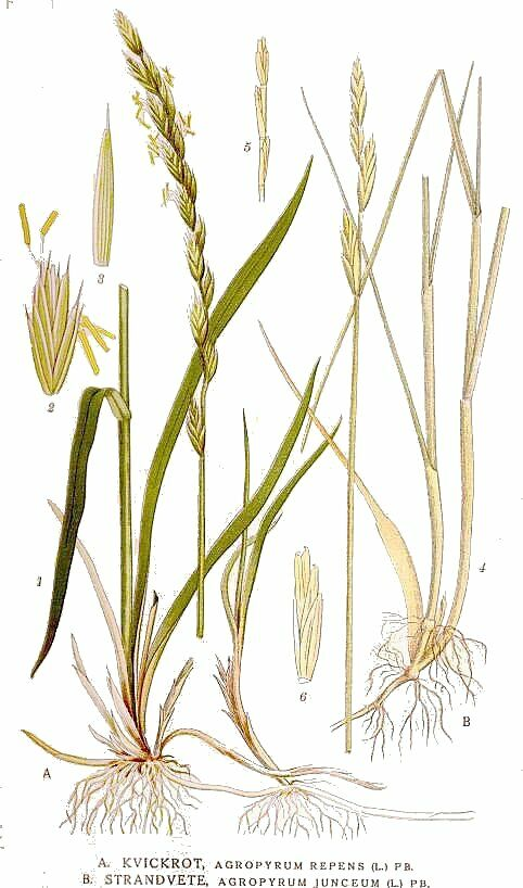 witchgrass-agropyron_repens.jpg